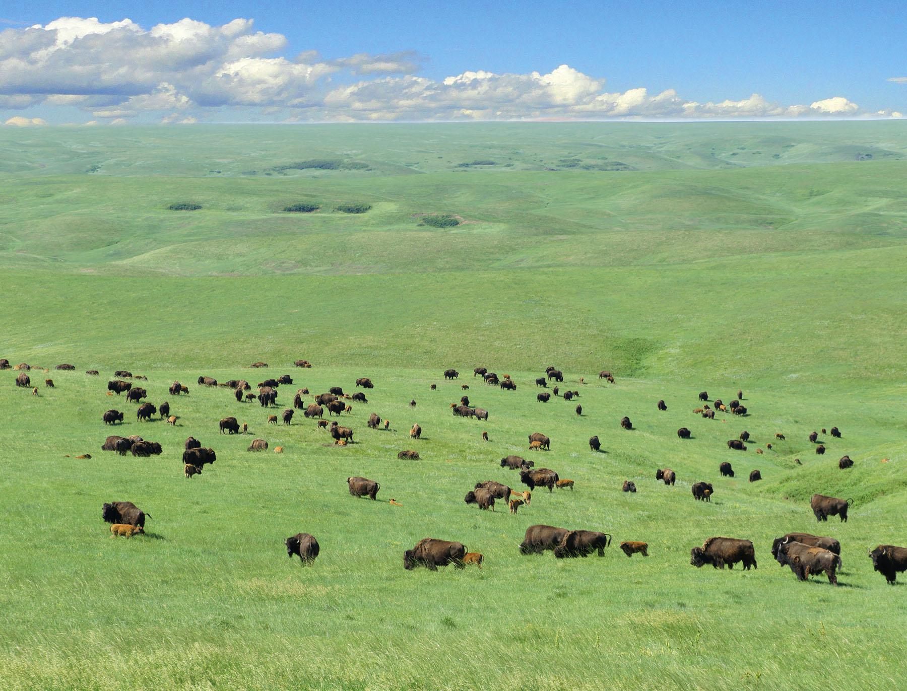 Houck Ranch Brings Buffalo to the South Dakota Prairie - SDHoF